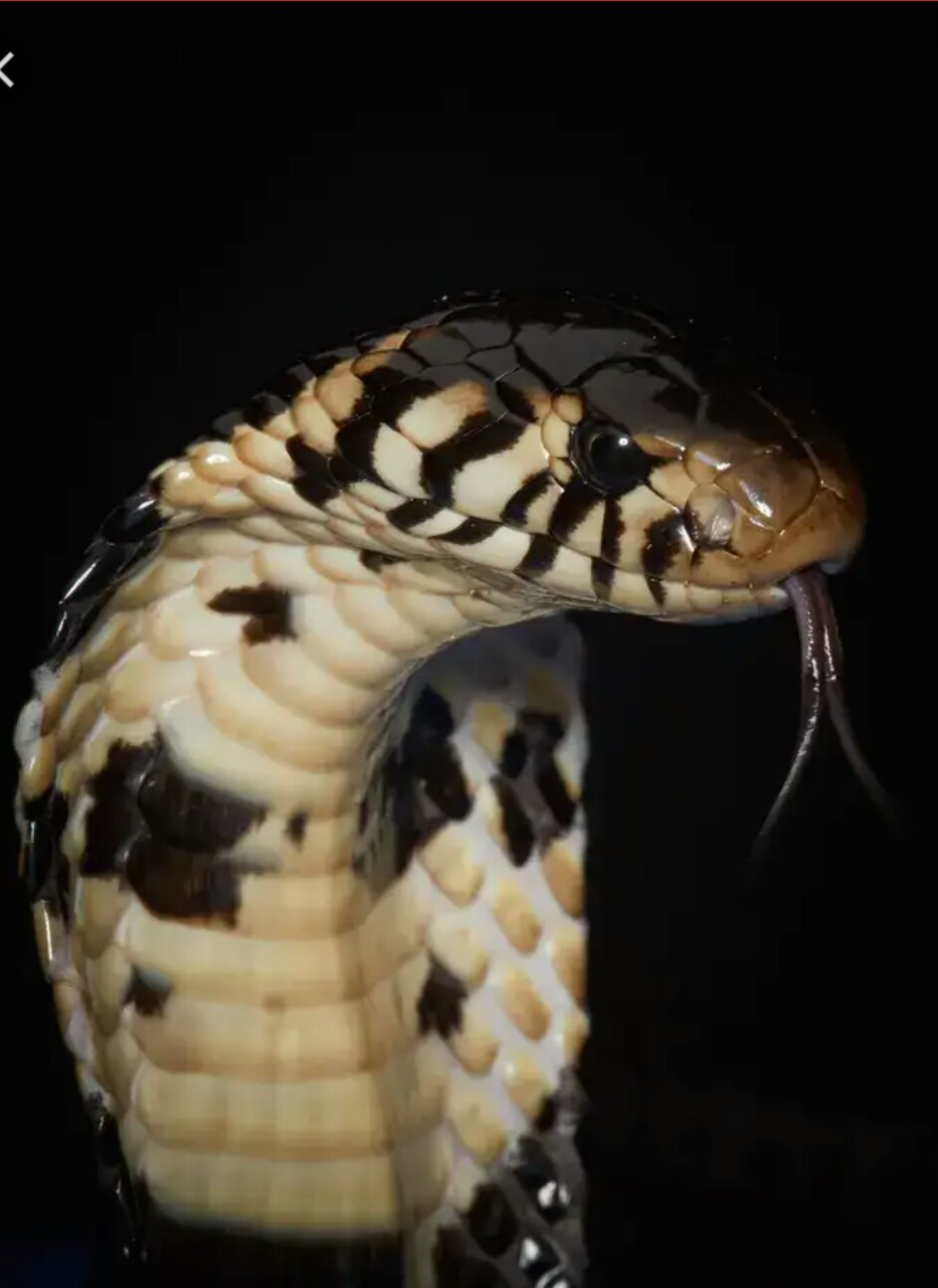 https://www.google.com/url?q=https://www.theguardian.com/global-development/2019/sep/09/how-snakebites-became-an-invisible-health-crisis-in-congo&sa=U&ved=0ahUKEwj5zNTJp5TtAhWB66QKHTkqD1o4ZBCviQMIKQ&usg=AOvVaw3YiUrGTGiQWX6VQWTr8Sda